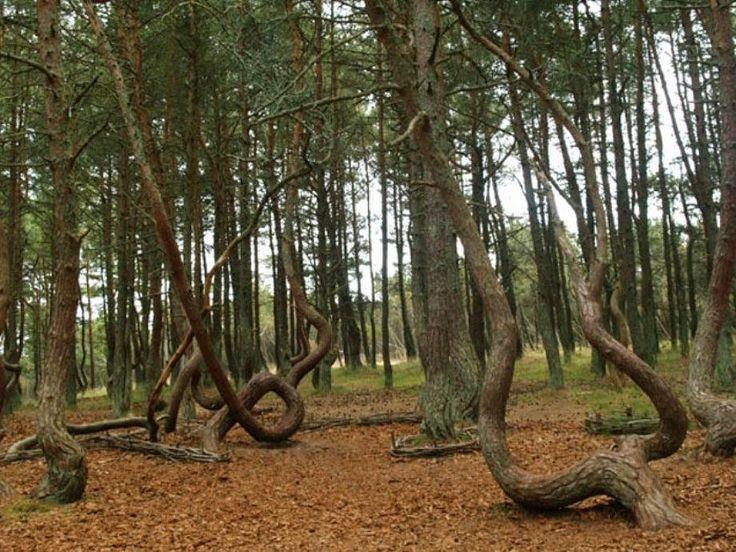 Dans Eden Kaliningrad Ormanı, Baltık Denizi...