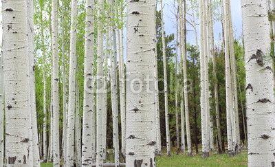 Aspen Trees near Colorado in autumn