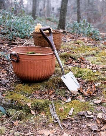 how to harvest moss to grow inside:  On your own property, harvest moss to grow indoors in pots before it becomes buried beneath snow. Take only small wedges, leaving most intact to expand again. Always take care not to disturb princess pine and other less plentiful plants. Pot the moss with soil, spritz it with water, and you've got greenery for the holidays and beyond.