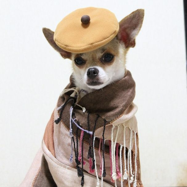 Montjiro is high fashion model from Japan with like thousands of fans and followers.   The Most Important High-Fashion Model (That Is Also A Chihuahua) On Instagram