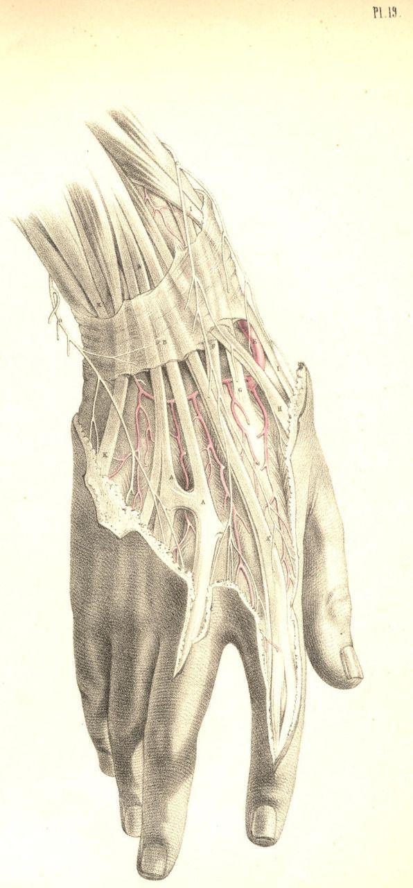 ☤ MD ☞☆☆☆ Anatomy. Human hand. Illustration. Surgical Anatomy (https://pinterest.com/pin/287386019946919600/) by Joseph Maclise.