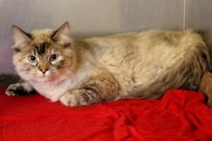 Fiona is an adoptable Ragdoll Cat in Yucaipa, CA. PLEASE CALL BEFORE YOU VISIT TO CHECK ON THIS CAT'S STATUS. OUR ADOPTION PRICE INCLUDES SPAYING/NEUTERING, VACCINATIONS . We offer AVID microchipping ...