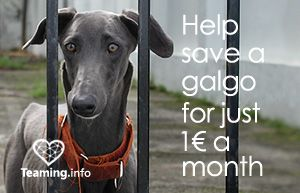 SOS Galgos | Dedicated to the rescue and protection of galgos