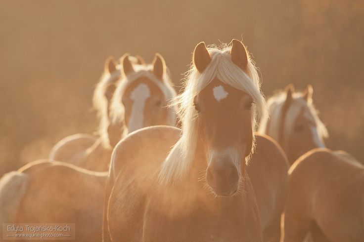 Autumn portrait.jpg - Autumn portrait of Haflinger filly in a misty morning