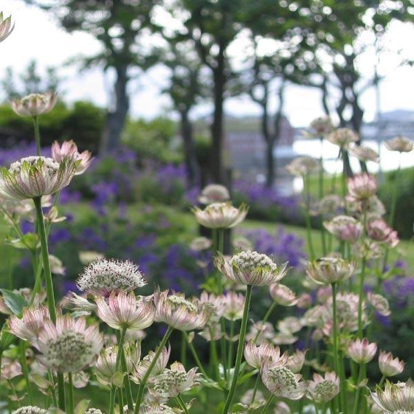 Stjerneskærm Astrantia major.  Køn gammeldags plante, der var fast inventar i den traditionelle landbohave, men som også gør sig godt i dagens haver. Har stjerneformede højblade, der sidder under de egentlige blomster – det er de smukt rosa højblade, der opfattes som blomst. Lang blomstring fra juni-september. Tiltrækker bier. Ca. 50-70 cm. Bedst i halvskygge, da løvet kan blive grimt i direkte sol. Kan sås hele året - også i den kolde periode.
