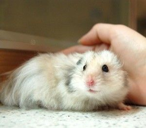 Wet Tail in Hamsters - Symptoms, treatment, outlook.
