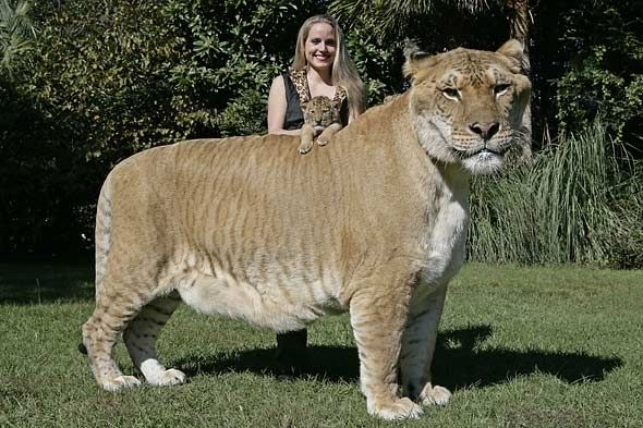 Okay. this is beautiful. But can ANYONE tell me why she is SMILING?! I would be running away in a panic. This liger is huge.