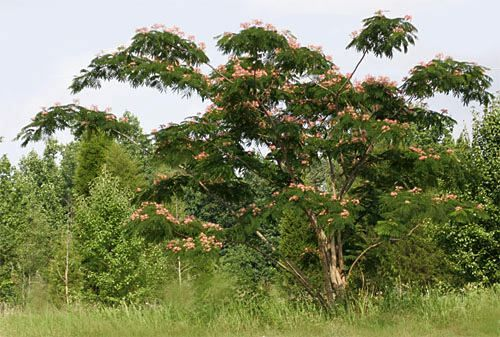 Best 25 Albizia julibrissin ideas on Pinterest Mimosa