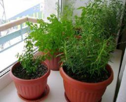 Мини-садик из пряно-вкусовых растений   Домовой