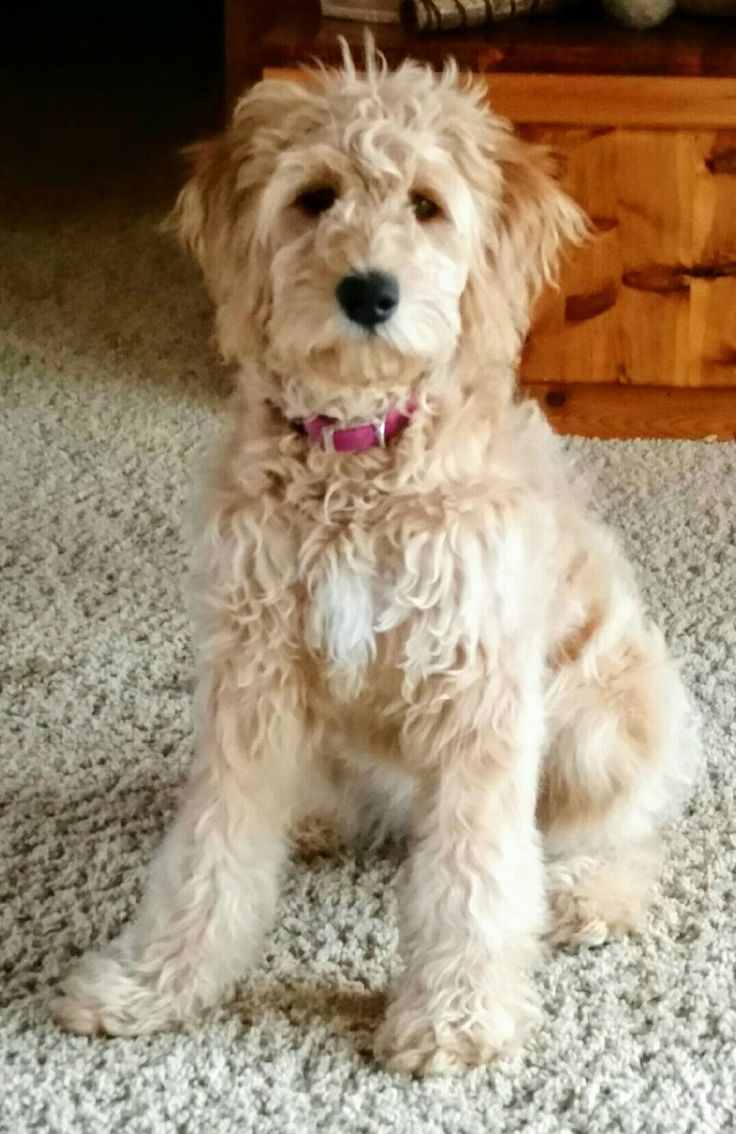 401 best cute images on pinterest dog cat doggies and dogs our golden doodle ella belle one of our favorite pictures nvjuhfo Images