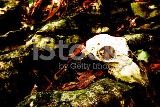 Skull in Undergrowth royalty-free stock photo