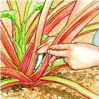 Coupez les hampes florales pour favoriser la croissance des feuilles et des pétioles de rhubarbe. Pour récolter la rhubarbe, cueillez les pétioles.