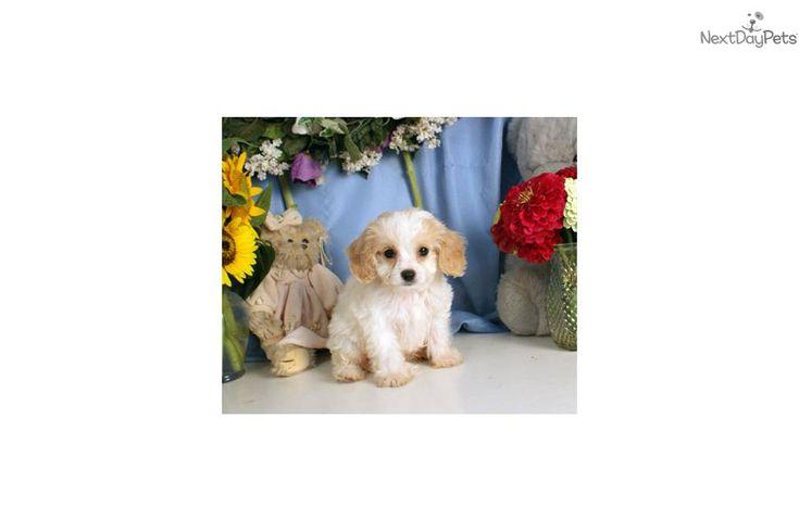 Cavachon puppy   – Favorite Breeds