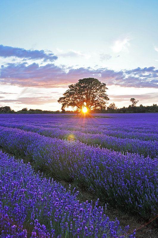 Sunset over lavender field #3