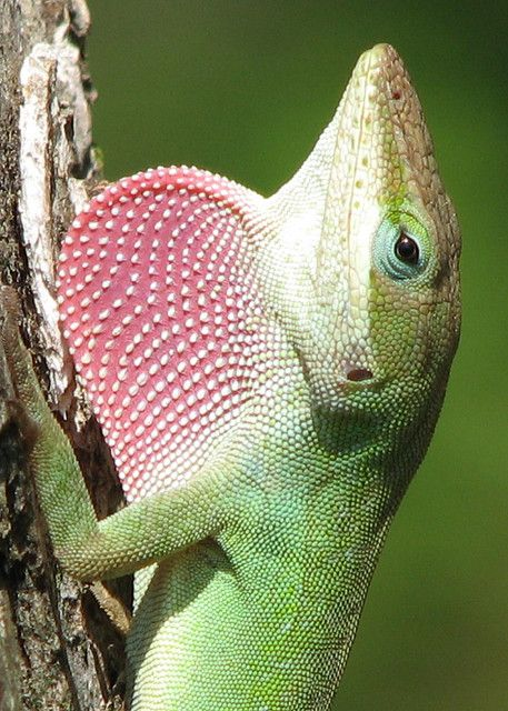 Green Anole. Lizards have more than 5,600 species, living all over our word except Antartica. Sight is very important for most lizards, 4 locating prey and for communication& many lizards have highly acute color vision. Most lizards rely heavily on body language, using specific postures, gestures, and movements to define territory, resolve disputes, and entice mates. Some species of lizards also use bright colors, such as the iridescent patches on the belly of Sceloporus.