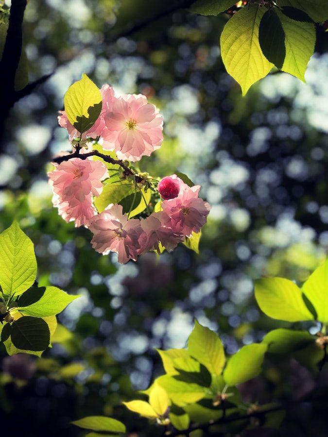 Essay My Cherry Blossom Tree By Swathi Parasuraman Kitaab Spring Wallpaper Spring Flowers Background Organic Gardening