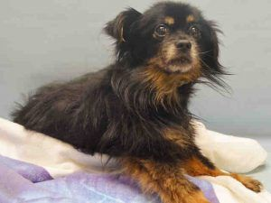 Safe -11-28-2016 Manhattan 11 YEARS OLD!!SUPER URGENT 11/28/16 Manhattan center ROCKY – A1098118 MALE, BLACK / TAN, POMERANIAN / CHIHUAHUA LH, 11 yrs OWNER SUR – EVALUATE, NO HOLD Reason PET HEALTH Intake condition EXAM REQ Intake Date 11/28/2016, From NY 10473, DueOut Date 11/28/2016,