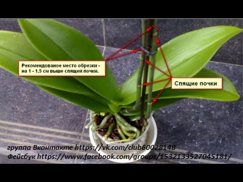 Как отрезать цветонос у орхидеи. Мой метод! - YouTube