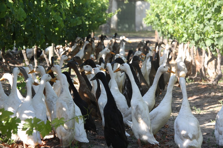 Our Indian Runner Ducks,cleansing the vines of Snails and other pests,helping us to reduce the use of pesticides on our vines @Vergenoegd Wine Estate