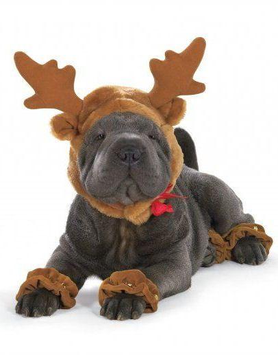 shar pei dressed as a reindeer. too cute.
