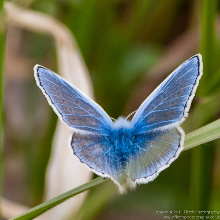 Common Blue    --- look at the transparency! Evolved??? HaHa!!!