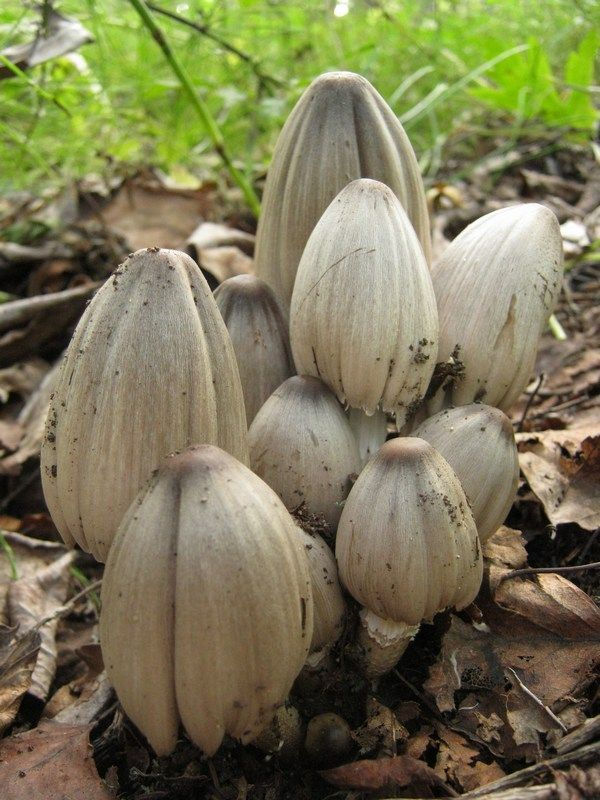 The Common Inkcap (Coprinopsis Atramentaria)
