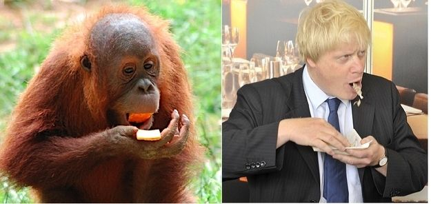 15 Orangutans That Look Like Boris Johnson - BuzzFeed Mobile