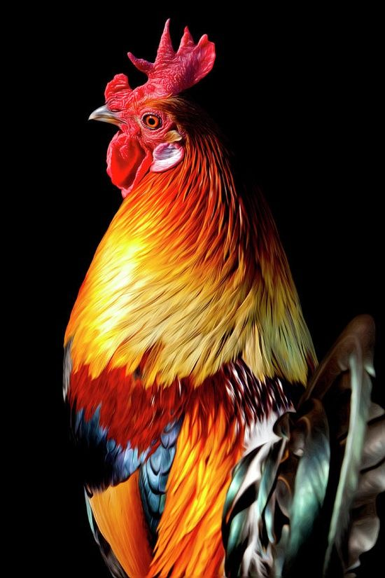 rooster-- he's handsome