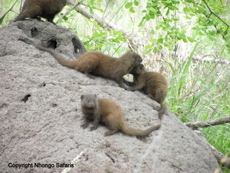 Dwarf mongoose 2
