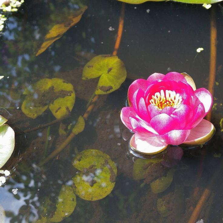 Seerose im alten Weinfass. Farbe ist fast surreal. #seerose #wasserpflanze #miniteich #garten #blüte #minibiotop