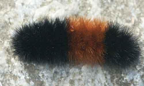Wooly caterpillar... for my friend D!