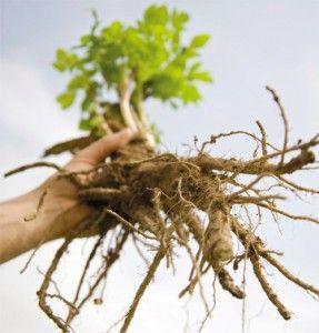 Planta care elimina depresiile - Alimentatie Sanatoasa, Nutritie si Diete de Slabire
