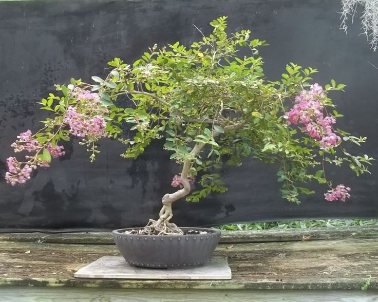 Crepe Myrtle (Lagerstroemia indica)  BonsaiBeginnings's uploaded images - Imgur