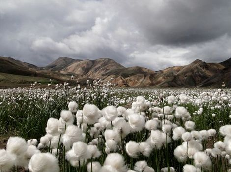 Cotton grass (Eriophorum vaginatum), Iceland