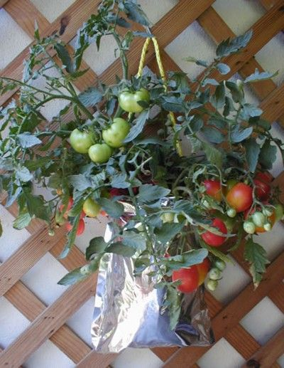 how to grow tomatoes in pots in florida