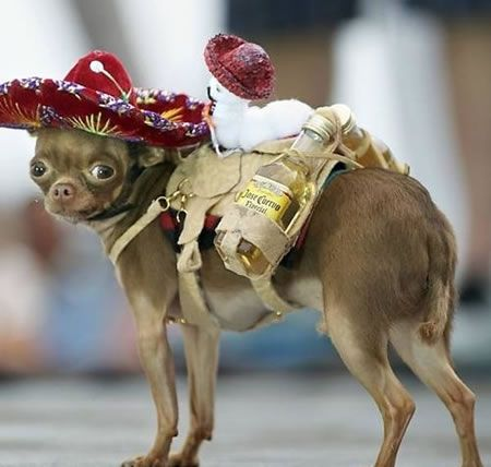!Ay Chihuahua!