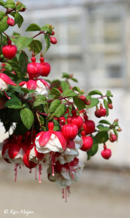Fuchsia. These are excellent annuals to put in hanging baskets for your hummers. Hang them outside the kitchen window or on a shady porch for an eye level show!