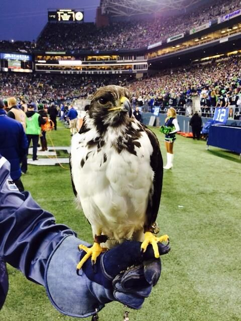Seattle's Seahawk for real.  It is actually an Osprey, a falcon-like bird that can be tamed like a falcon.  His name is Taima.