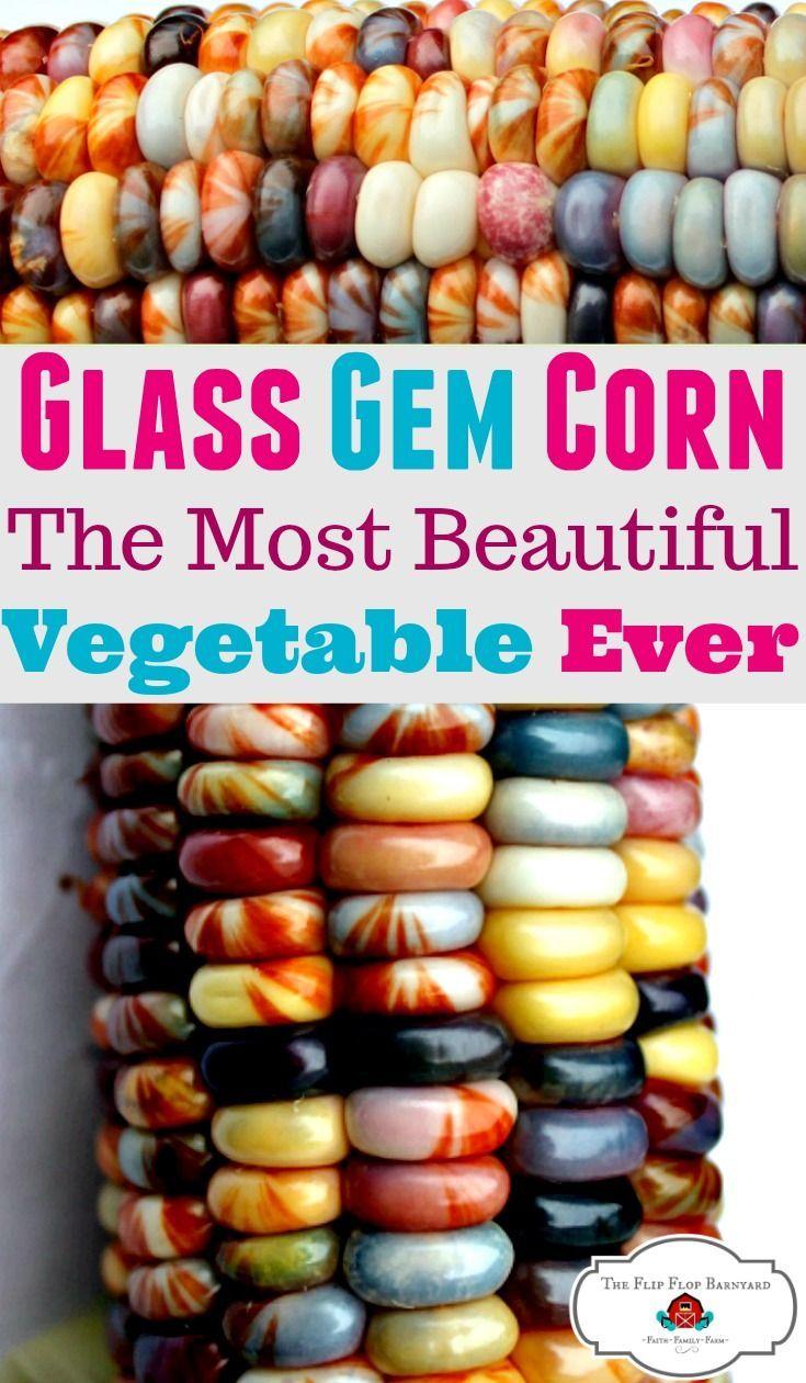 What Is Glass Gem Corn Glass Gem Corn Growing Vegetables
