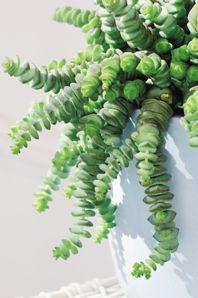Crassula is een vetplant die je humeur opvrolijkt met ronde, blije blaadjes. Hij tovert onmiddellijk een glimlach op je gezicht. Deze woonplant heeft maar een beetje verzorging nodig en straalt iedere dag volop optimisme.