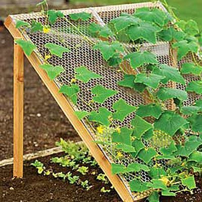 cucumber trellis with lettuce underneath....great use of garden space.....could use old crib side instead of wire for trellis....