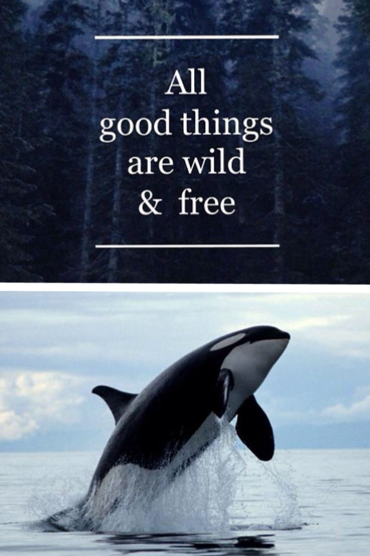 captivity of killer whales Killer whales don't belong in captivity - killer whales should not be kept in captivity.