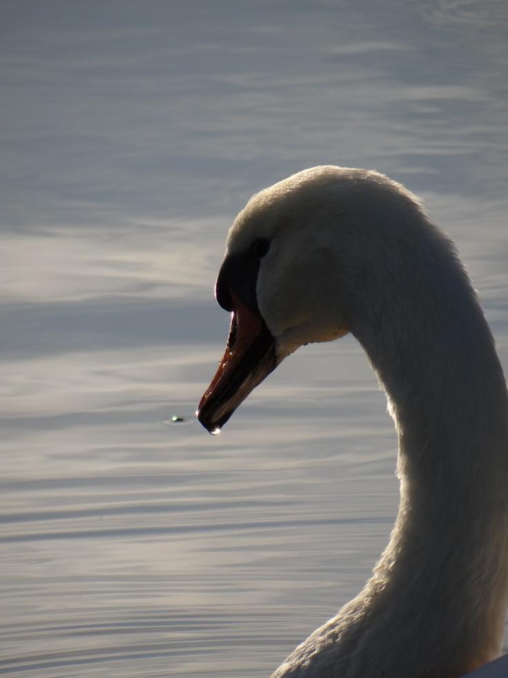 Swan at Waddinxveen