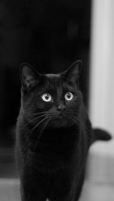 """""""if A Black Cat Crosses Your Path, It Means The Animal Is Going Somewhere."""" --groucho Marx (ᵔᴥᵔ)"""