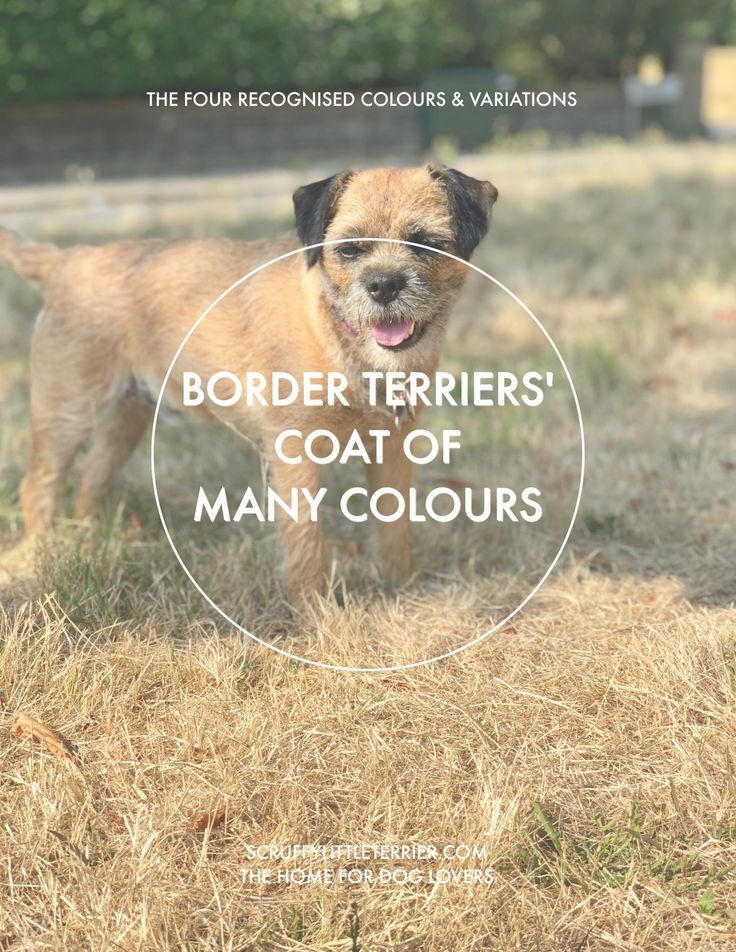 Designer Dogs Border Terriers Coat Of Many Colours Di 2020