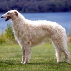 russian-wolfhound-borzoi