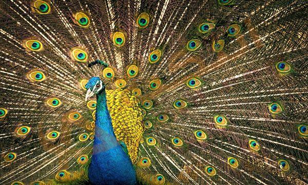تفسير حلم الطاووس في المنام وهو نوع من أنواع الطيور وهو ي عتبر من أجمل الطيور حيث يفرد ريشه على شكل مروحة جميلة وجذابة وريش الطا Narcissist 12 Signs Peacock
