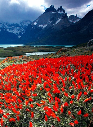 Torres del Paine National Park, Chile ~ red Guanaco Bush (Neneo Macho) in the foreground.  Photo: John Baker.