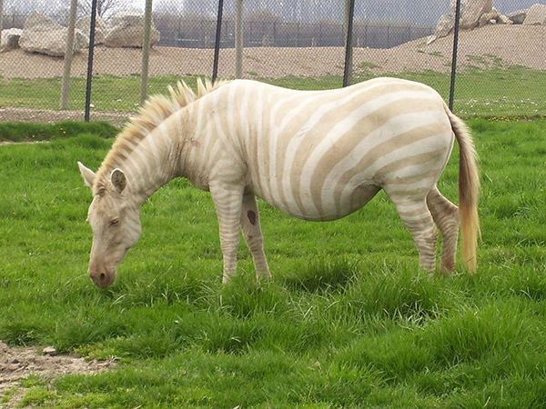 Have you ever seen a Golden Zebra? The term refers alternately either to an albino zebra, an amelanistic zebra, or as a type of zebroid known as a Zorse, all of which have been called golden zebras by various people.   There's really no difference between an albino and an amelanistic zebra. When someone refers to an amelanistic animal they are usually referring to the same thing that someone referring to an albino animal is: an animal without the ability to produce the pigments that are…