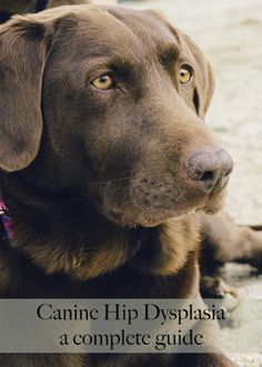 Hip Dysplasia a complete guide to CHD in labradors and other large breed dogs
